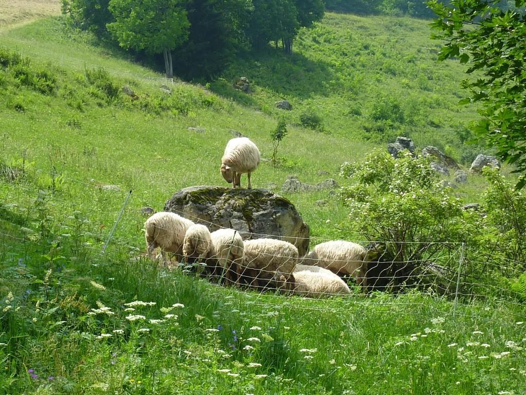 ... et ses moutons