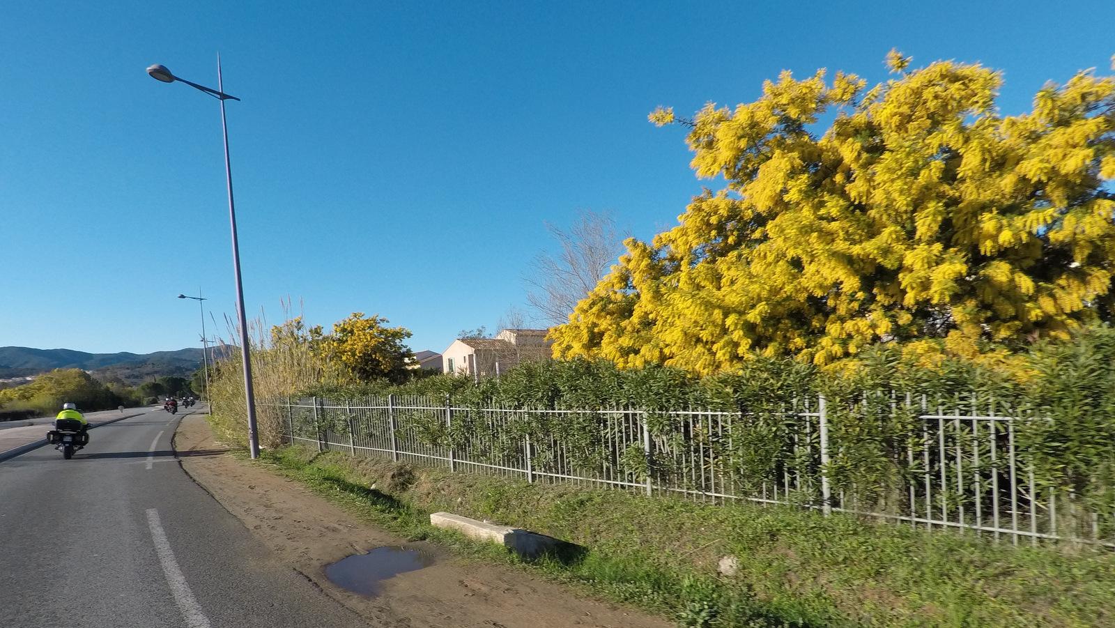 les premiers mimosas