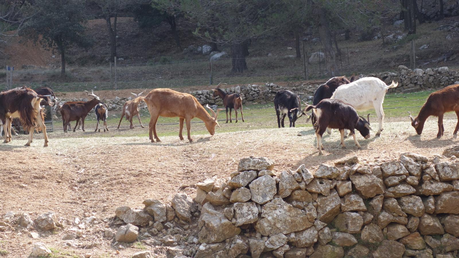... des chèvres du Rove