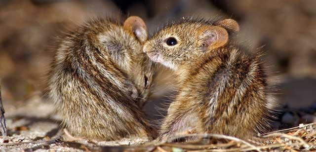 Zwei Baby-Mäuse.