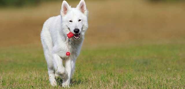 Wunderschöner weißer Schäferhund kommt mit einem Spielzeug im Maul über eine große Wiese auf den Betrachter zu.