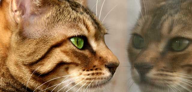 Katze spiegelt sich in einer Fensterscheibe.