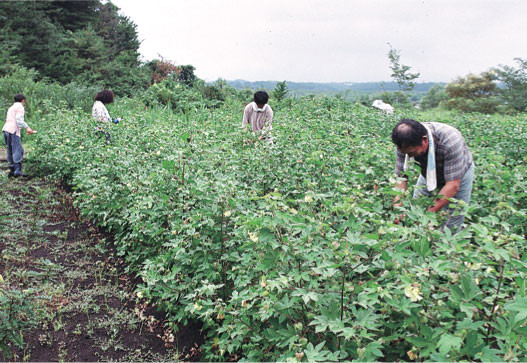 Cultivating the cotton for the main stage curtain. Clipping the plants in early autumn, 2002