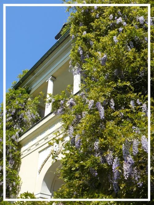 rückseitiger Balkon des Schlösschens umrahmt von Blauregen (inzwischen entfernt)