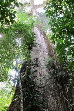 Der Riesenbaum