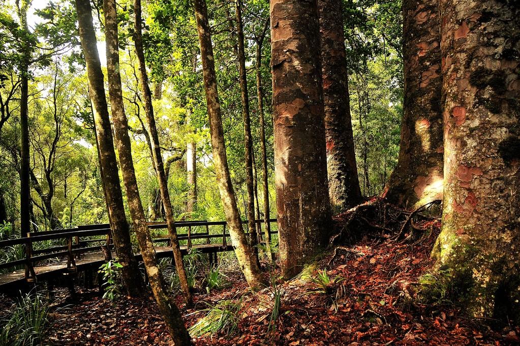 Sacred Kauri Forest