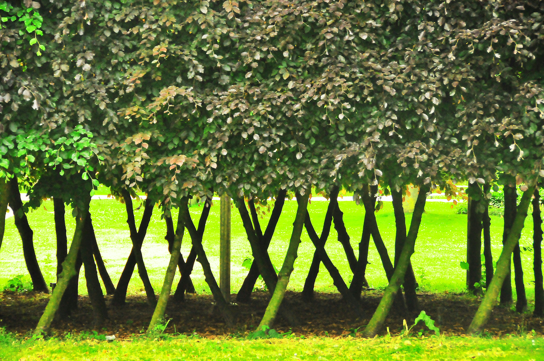 41 Tree Ballet