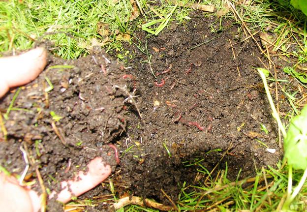 Nach wenigen Tagen wimmelt der Smoothie vor lauter Leben - er wird immer gut abgedeckt durch Mulch. In diesem Fall ist es Rasenschnitt.