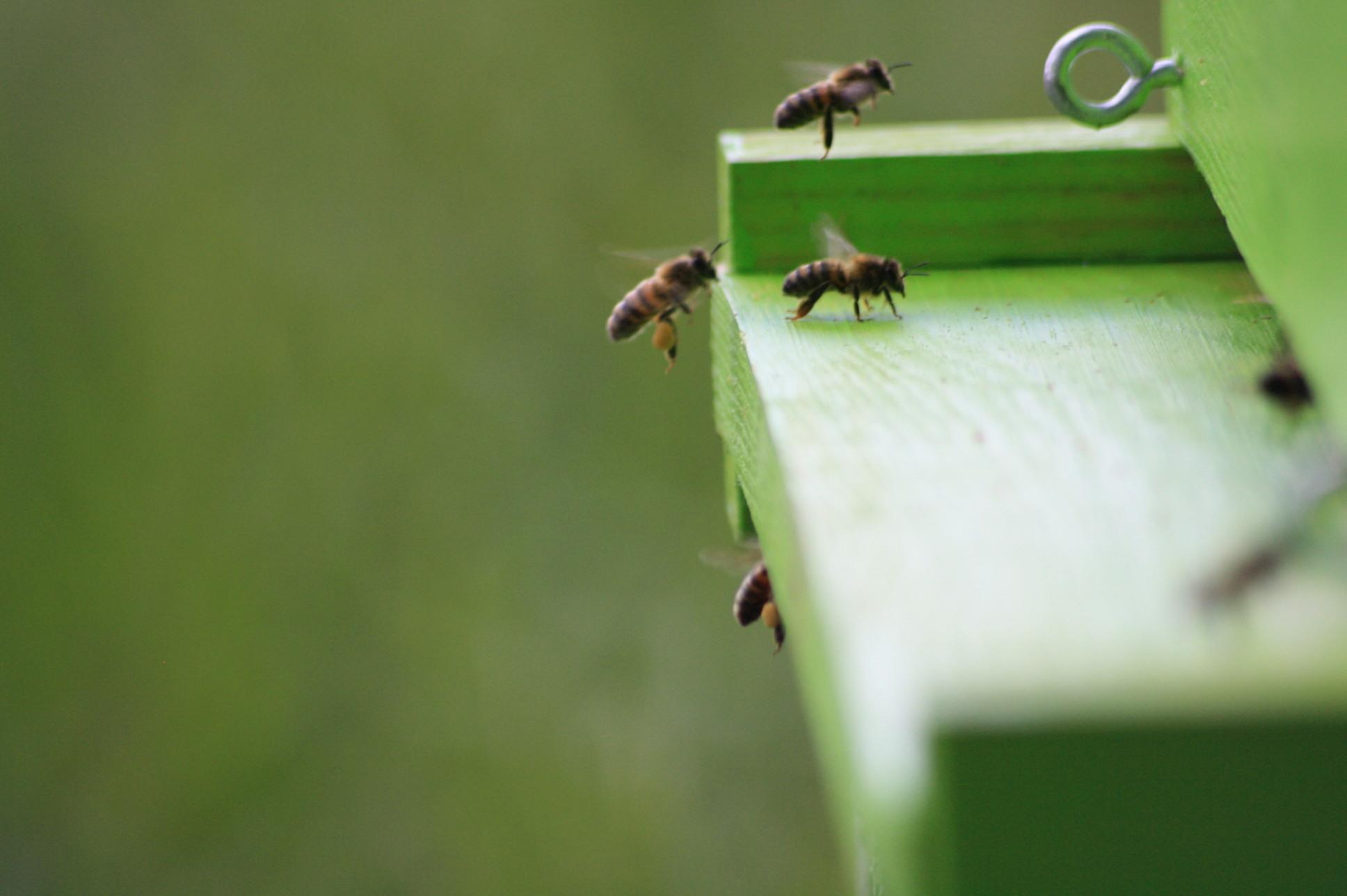 les abeilles de la mesquire