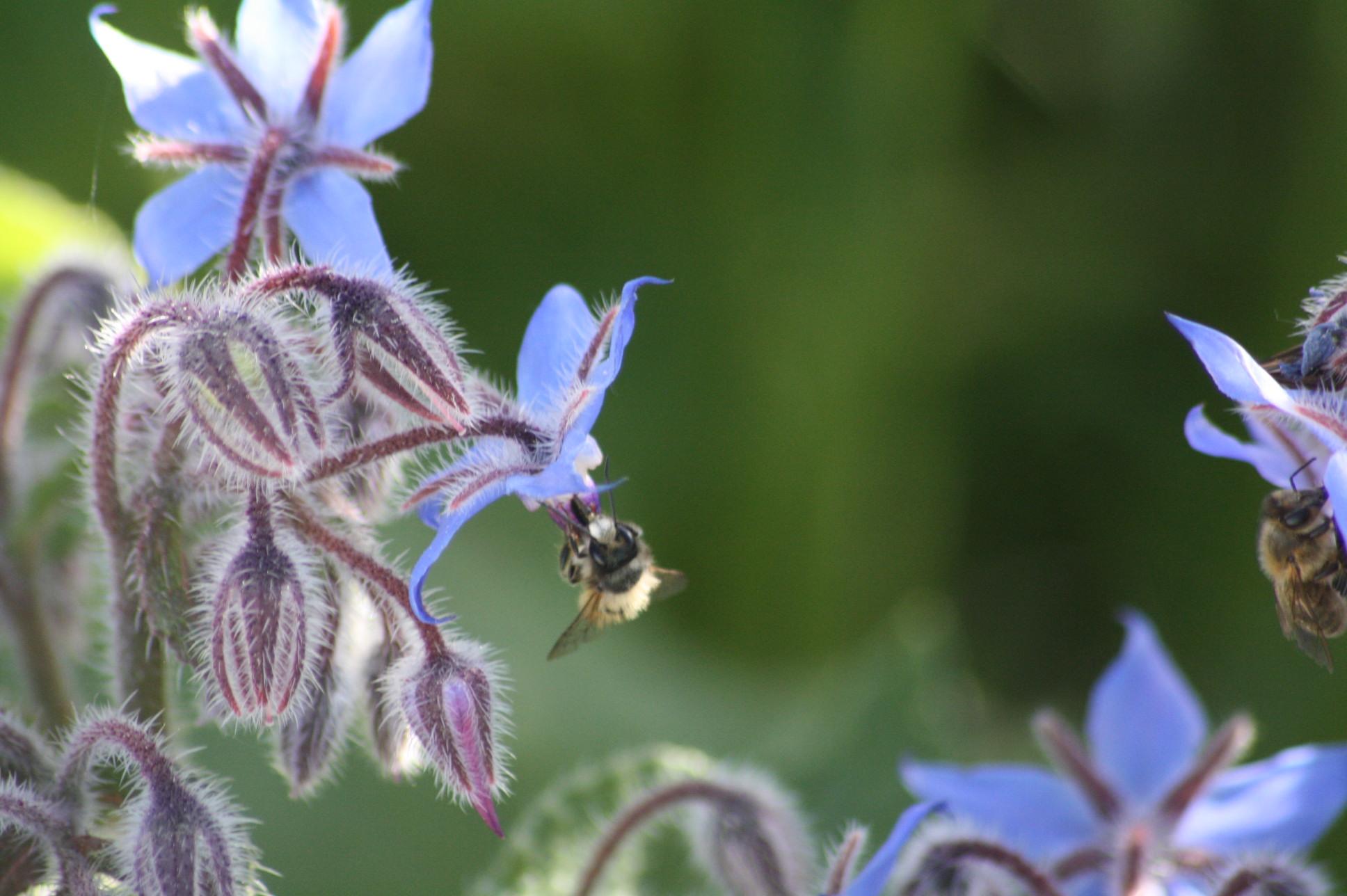 bourrache et abeille sauvage