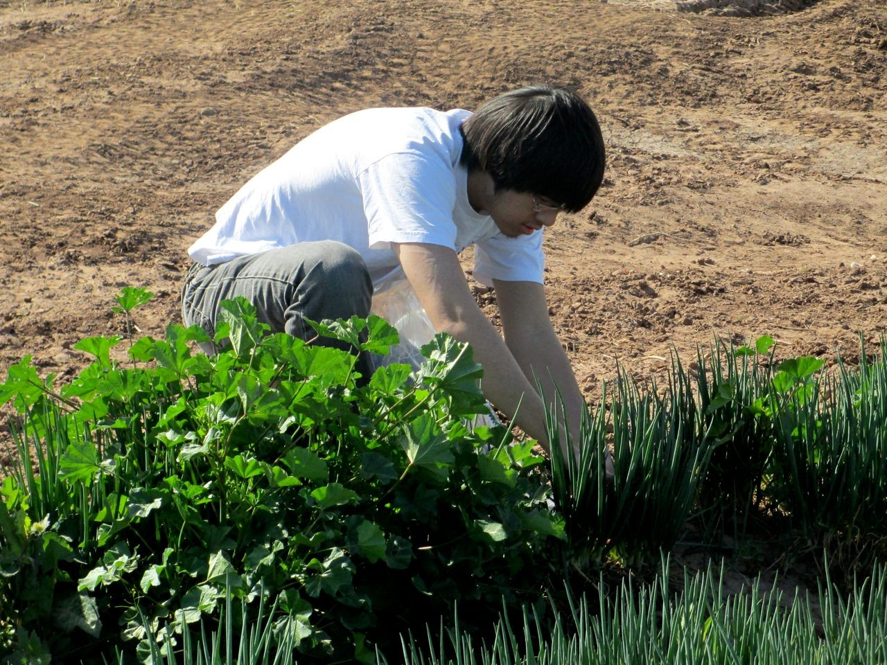 Lance Harvests Green Onions