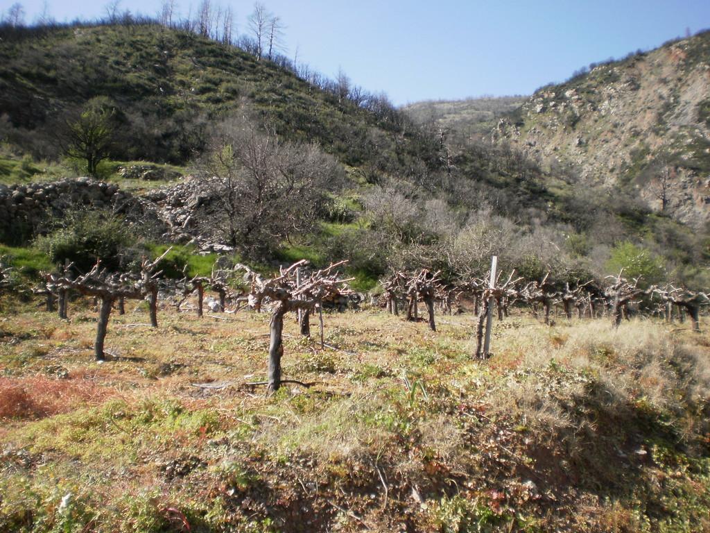 Виноградники...
