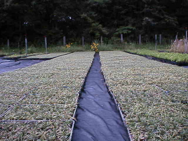 織布系防草シート グランドカバープランツ生産者使用例