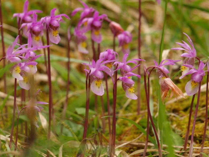 Calypso Orchideen