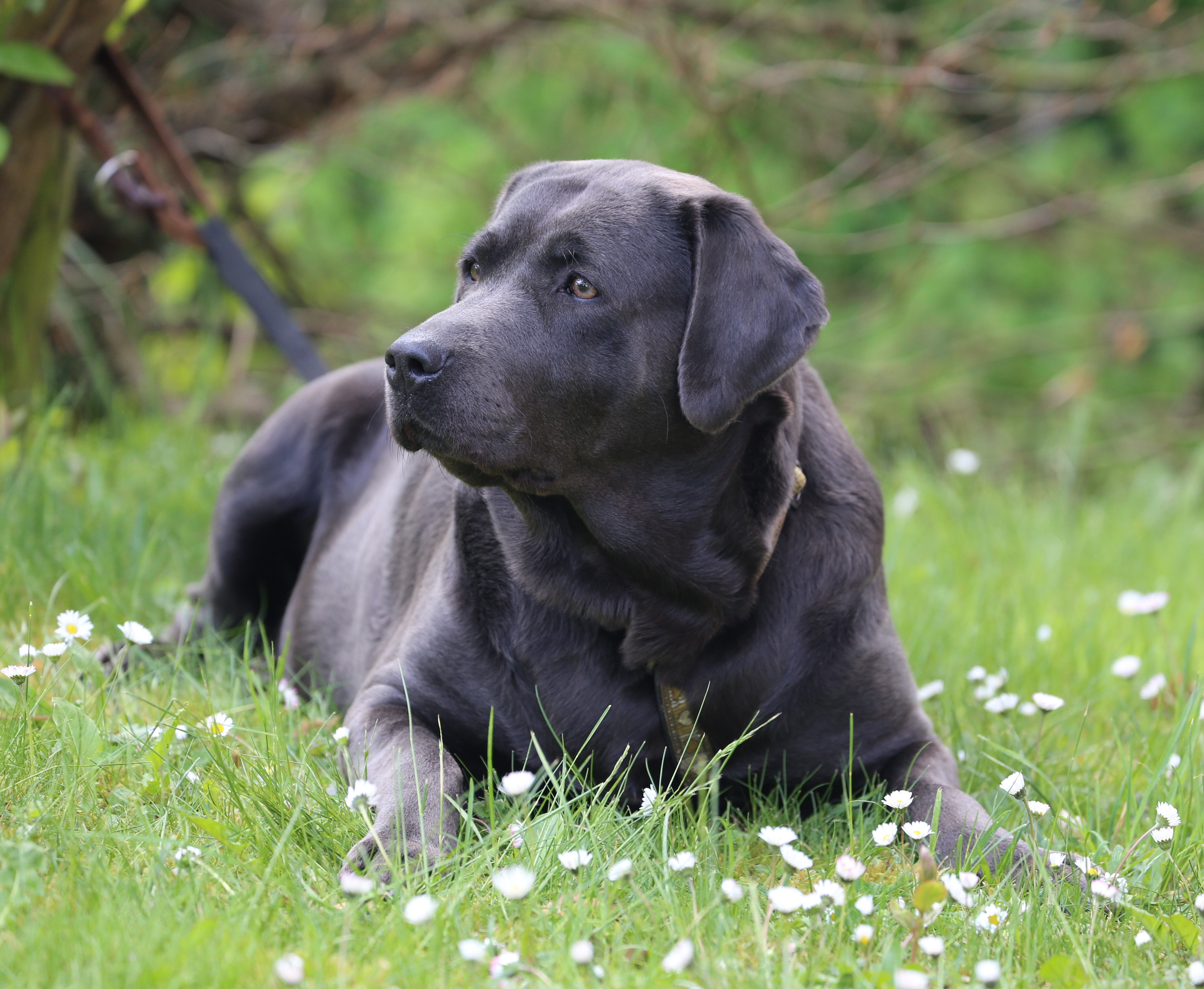 Uber Uns Mingan Labrador Labradore In Silber Charcoal Champagner Braun