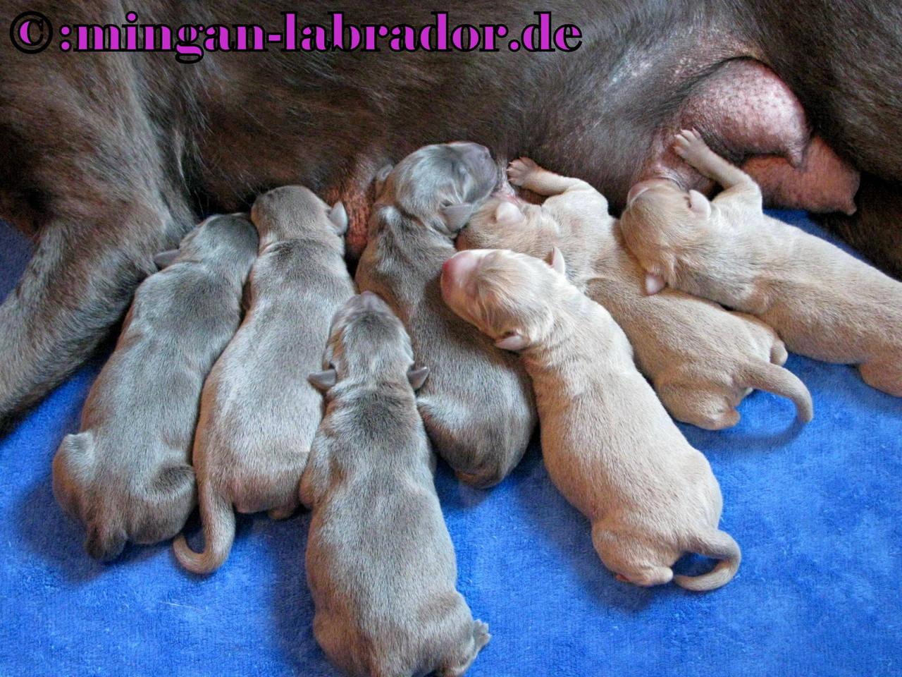 Mingan Labrador Galergie Der Silber Und Light Silber Labrador
