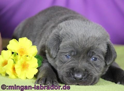 Unser charcoal Labrador Samu, hier mit ca. 3 Wochen