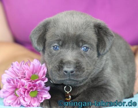 Unser charcoal Labrador Samu, hier mit ca. 4 Wochen