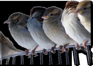 """Foto: """"Spatzen"""" ... pfeifen von den Dächern / Infos zur betrieblichen Altersvorsorge, Quelle: pixabay.com"""