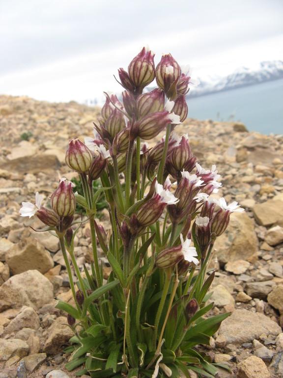 Северные цветы
