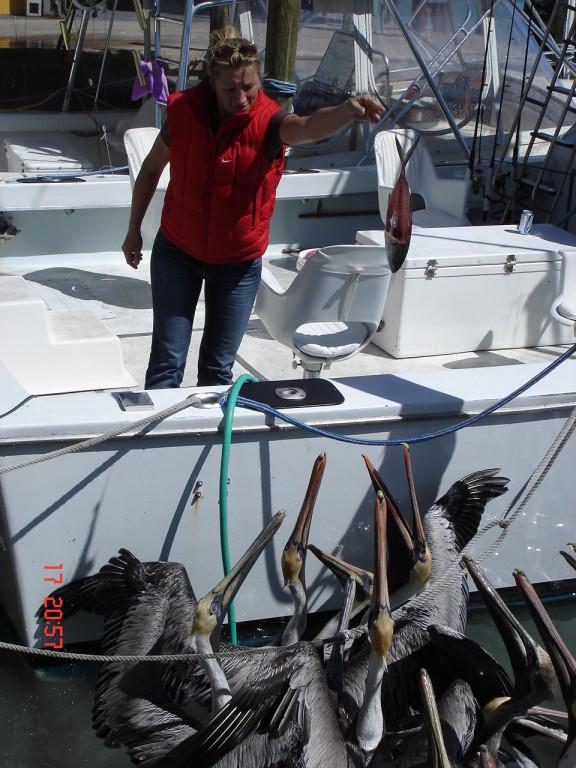 Кормим голодных пеликанов отходами от рыб