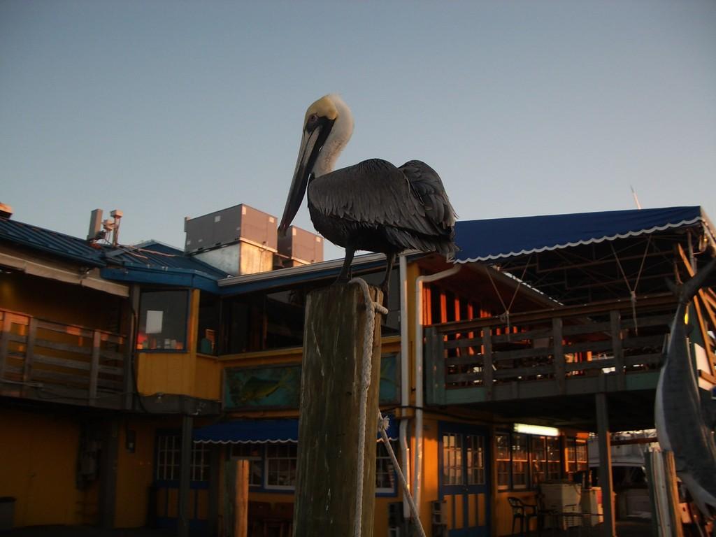 Пеликан желает нам удачной рыбалки