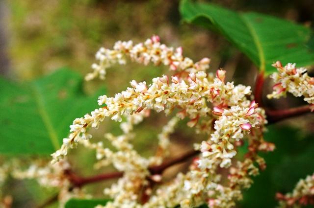 イタドリの花