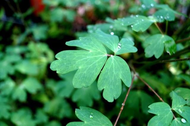雨のしずくがかわいいヤマオダマキの葉