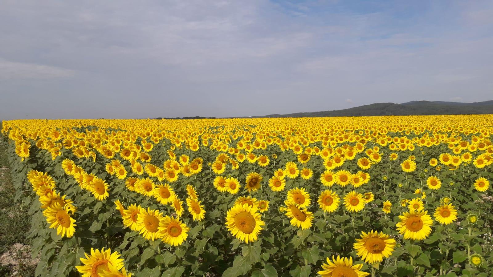 Sonnenblumen sehen nicht nur schön aus, sondern bilden auch ein wichtiges Fruchtfolgeglied.