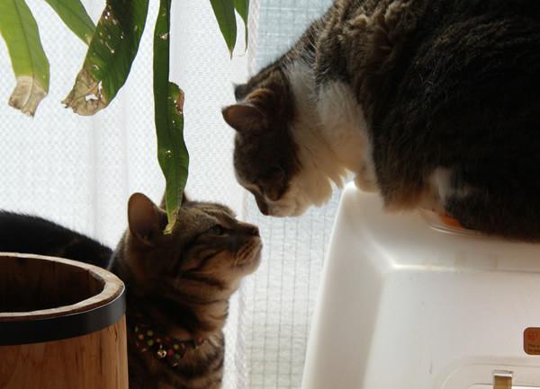 挨拶する猫たち