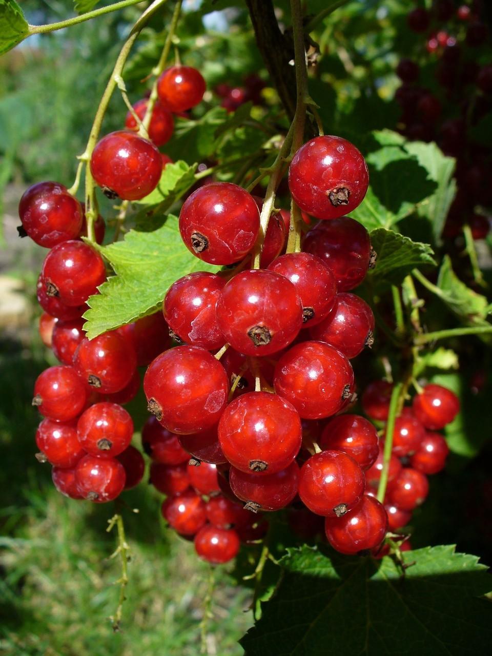 Früchte 2008-3
