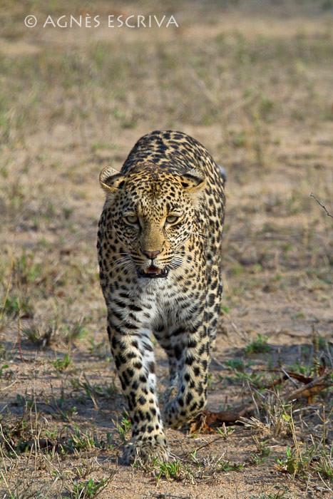 Thandi fille de Karula, née en 2007, soeur de Shadow  (novembre 2009)