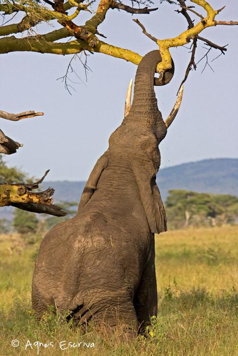 Eléphant cassant une branche d'acacia