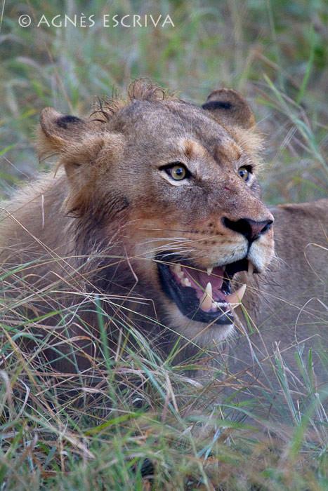 Portrait de jeune lion 1
