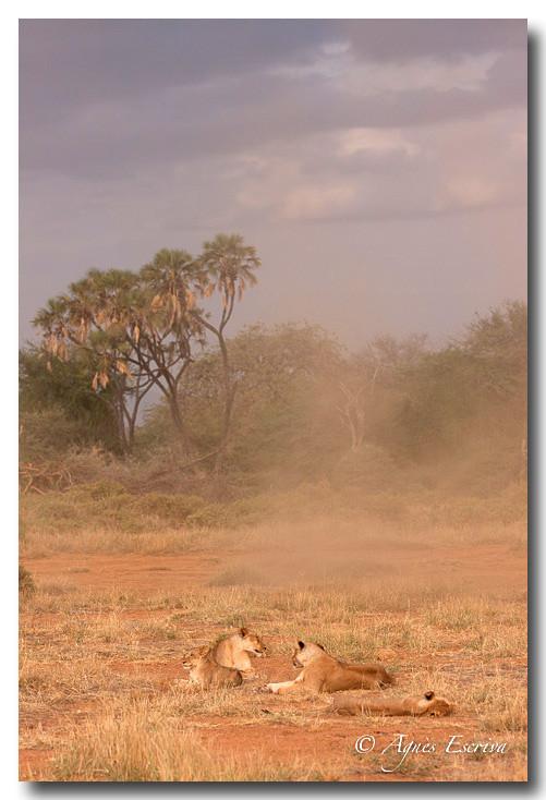 Lions dans la poussière