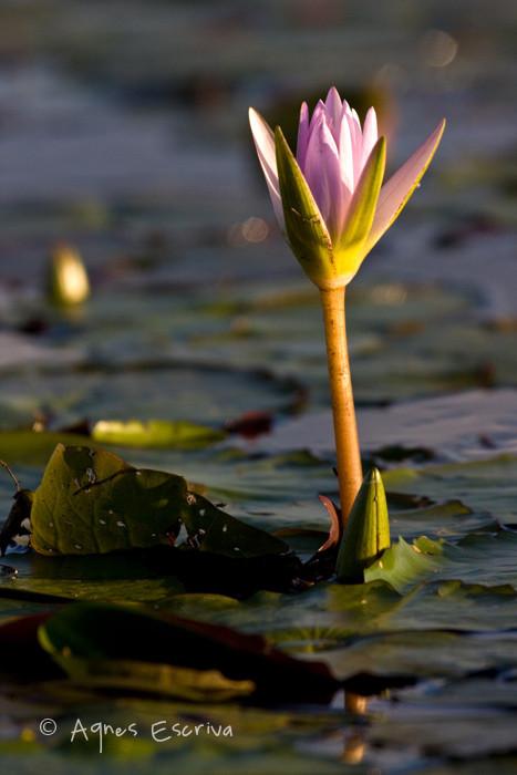 Jeune fleur de nénuphar