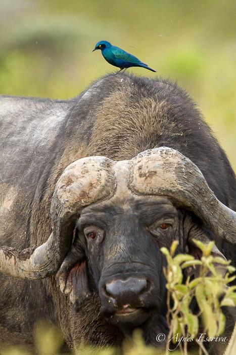Buffle et choucador à oreillons bleus - Nakuru