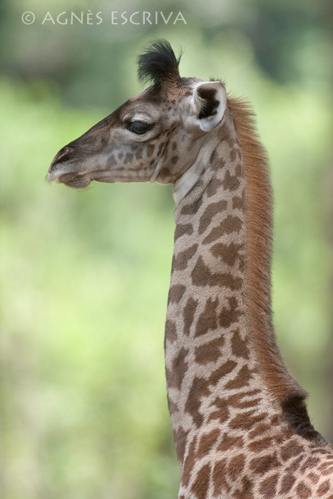 Jeune girafon