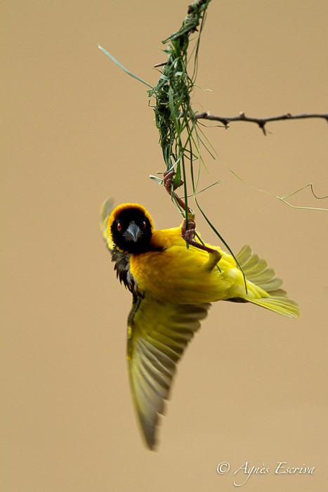 Tisserin mâle - Début de la construction du nid