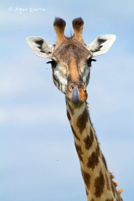 Girafe ruminant