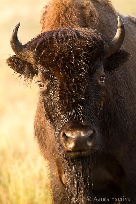 Femelle bison