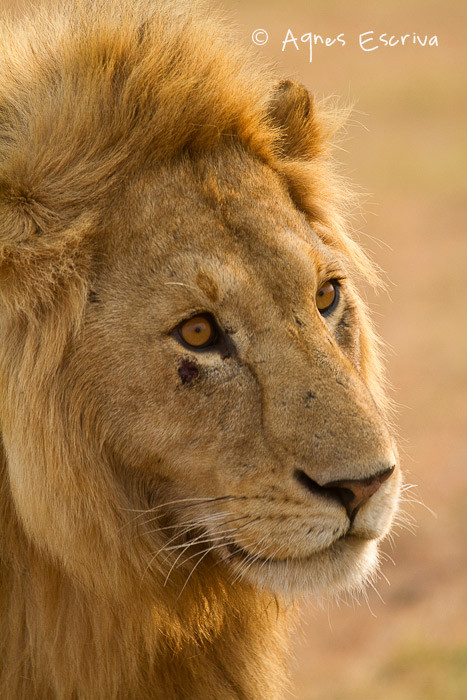 Jeune lion de 3 ans ex-Bilashaka