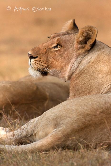 Jeune lionne de 3 ans ex-Bilashaka