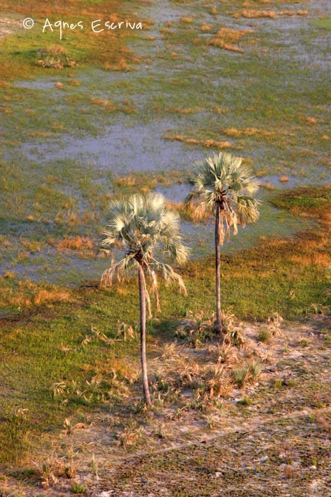 Palmiers -Delta de l'Okavango