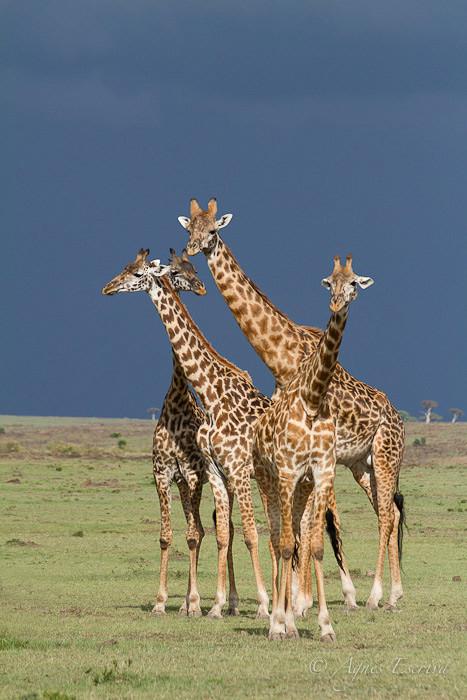 Bouquet de girafes