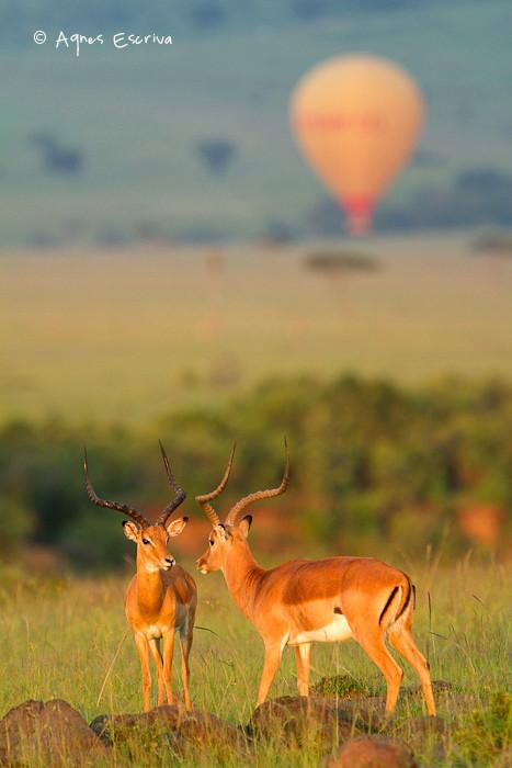 Impalas et montgolfière