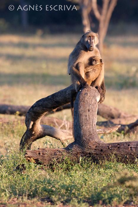 Les babouins de Graham