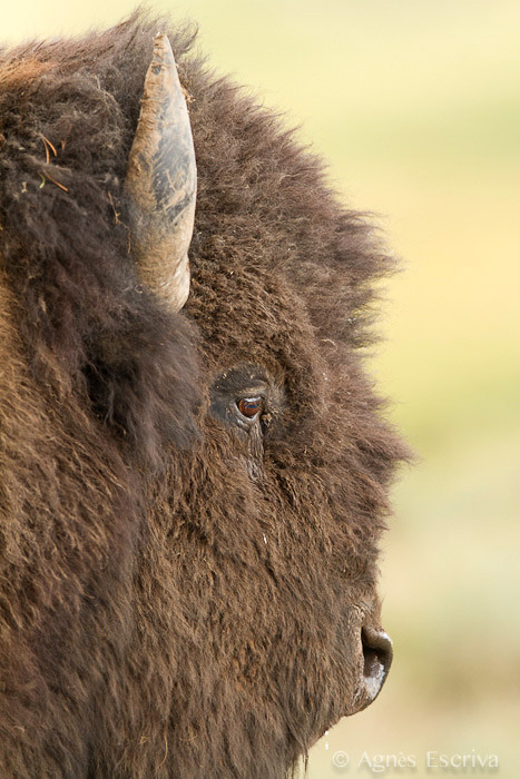 Bison mâle