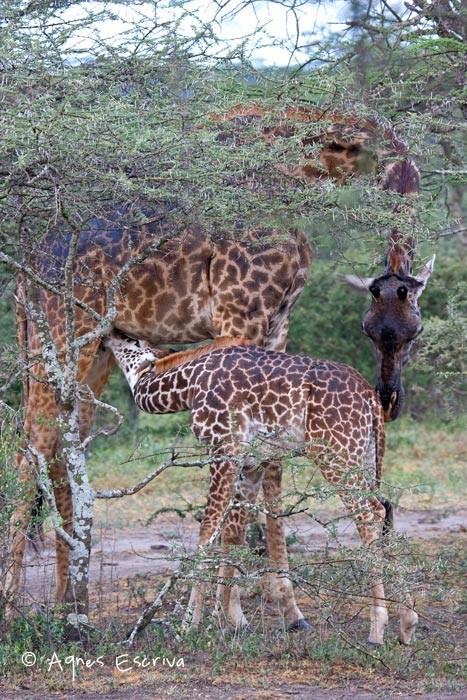 La têtée de girafes