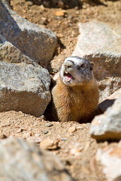 Cri de la marmotte à ventre jaune